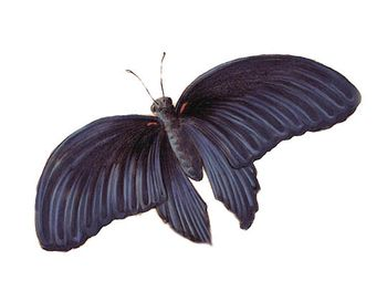 Buttterfly-black.jpg